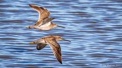 Long-billed Dowitchers (Bob Gunderson) Tags: baylands birds california dowitchers limnodromusscolopaceus longbilleddowitcher northerncalifornia santaclaracounty shorebirds southbay