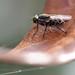 polka-dot fly for Fly Day Friday (all one thing) Tags: polkadotfly flydayfriday happyflydayfriday hfdf fly insect nature macro