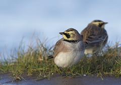 Shore Lark (Horned Lark) (J J McHale) Tags: scotland fife wildlife nature bird wing lark shorelark eremophilaalpestris