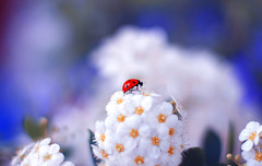 Lady in the Garden  🐞 💙 (ElenAndreeva) Tags: sky red spring color blue sun light summer bokeh beautiful cute lovely colors insect canon top soft dream colorful composition blossom sweet focus bug amazing garden ledybug nature flowers macro