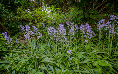 Garden Flowers #37 (foto_morgana) Tags: flowers plants nature fleurs garden spring belgium gardening jardin tuin lente garten printemps bloemen tuinieren wemmel hyacinthoideshispanica spanishbluebell jardiner