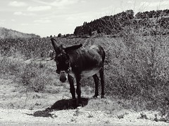 Burrico ao sol (verridrio) Tags: burro burrico animal campo sony mondego verride sevelha asno donkey asino jumento blanco negro noir black white monochrome preto branco fun mono monocromatico