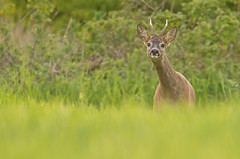 Young Roe Deer buck (Wouter's Wildlife Photography) Tags: nature animal mammal wildlife deer buck roedeer billund rådyr ree capreoluscapreolus zoogdier pattedyr
