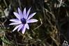 Fiore della Majella - Abruzzo - Italy