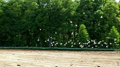 20150601 Mecklenburg Vorpommern Feld Mven (100) (j.ardin) Tags: seagulls bird field work germany landscape deutschland trabajo scenery traktor seagull labor feld paisaje menatwork travail campo alemania labour activity paysage vgel mwe job landschaft arbeit allemagne gaviota oiseau mwen vogel pjaro vorpommern domaine praca mecklenburg ptak staub labeur menschenbeiderarbeit berlinusedomradweg ahlbecknachueckermnde
