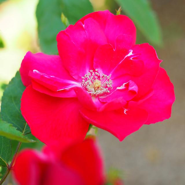 rose バラ 花フェスタ記念公園 danceofjoy flowerfestivalcommemorativepark ダンスオブジョイ