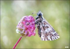 Burbujeante (- JAM -) Tags: naturaleza flower macro nature insect nikon flor explore jam mariposas d800 insecto macrofotografia explored lepidopteros juanadradas