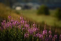 Pitt Meadows BC (Ian Threlkeld) Tags: summer canada nature nikon flickr bc canadian explore 500 popular pnw ff irt naturephotography pittmeadows beautifulbc alouetteriver canadianlandscapes ridgemeadows explorebc d7000 mynikonlife
