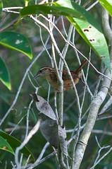 Carolina Wren (btrentler) Tags: bird florida miami everglades carolina wren birdwatching ludovicianus thryothorus