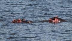 Peeping hippo (rreyn92) Tags: africa wild lake nature water look animal animals tanzania outside natural outdoor wildlife safari ngorongoro crater hippo hippopotamus peeping