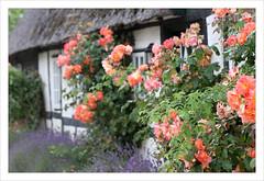 Zugewachsen (BegMeil44) Tags: roses summer house sommer haus rosen t maison schleswigholstein schlei sieseby halbinselschwansen
