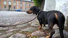 sightseeing in old Porvoo (verbeek_dennis) Tags: dachshund tax porvoo borg oldporvoo kaapo myrkoira gravhund