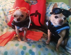 Ocean-ready Chihuahuas (EllenJo) Tags: ocean costumes pets silly simon dogs goofy costume goggles chihuahuas floyd lifevests ellenjo ellenjoroberts