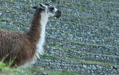 Peru-8669.jpg (Matt and Debbie) Tags: peru llama 2015 wayna winaywayna wiay