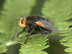 Tachina grossa, on Pteridium aquilinum, Roydon Common, Norfolk     DSC_3234 (Cladoniophile) Tags: