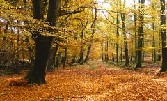 New Forest NP, Hampshire, England (east med wanderer) Tags: england uk hampshire newforestnationalpark woodland beech track worldtrekker