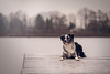 Cole | January 2017 (CarolinGreif-Fotografie) Tags: dog hund australian puppy sweet nikon d700 love photography shepherd sea water winter
