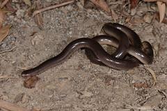 North-eastern Blind Snake (Ramphotyphlops polygrammicus) (shaneblackfnq) Tags: northeastern blind snake ramphotyphlops polygrammicus shaneblack mt mount lewis julatten fnq far north queensland australia tropics tropical rainforest