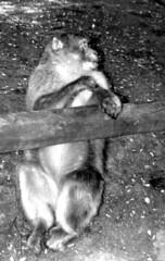 Singe-b (jeanraoulb) Tags: animaux kintzheim singe
