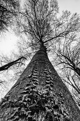 Race to the Top (Watching Pancakes) Tags: hoeilaart belgium climbingvines race bw nature tree nikon sigma monochrome racetothetop outside wideangle lookup