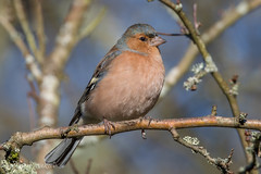 Chaffinch (Linda Martin Photography) Tags: fringillacoelebs hampshire blashfordlakes chaffinch wildlife birds uk nature coth naturethroughthelens coth5 ngc