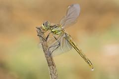 Newborn (jrosvic) Tags: immature emergency dragonfly dragonflies libélula libellulidae odonata anisoptera odonato anisoptero newborn nikon60mm28dmicro nikond7100 freehand entomologia entomology macro micro closeup nature wildlife sympetrumfonscolombii cartagena murcia spain