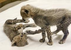 Silly Sisters (Penny Hyde) Tags: babyanimal bigcat cheetah cub safaripark
