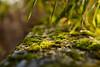 Bokeh is overrated, but I like it so much. (balu51) Tags: garten gartenmauer moos bambus grün grau abend winter garden gardenwall moss bamboo green grey evening 100xthe2016edition 100x2016 image97100 dezember 2016 bokeh 60mm copyrightbybalu51