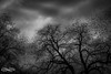 MurmurationDecember 17, 2016.jpg (outlaw.photography) Tags: birds blackandwhite chrisdaugherty clouds dark infinityimages light mood mysterious photography rural silhouette sky starlingmurmuration stormy trees nature outlawphotography