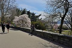 Spring Fling (Eddie C3) Tags: newyorkcity nycparks fttryonpark springtime magnolias people trees georgewashingtonbridge