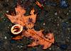 Winter Wondering Land (Reid2008) Tags: oakleaf hickorynut seedpod leaf nut seeds nature
