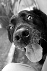 Yeah (Imorgado) Tags: animal brasil brazil bw black blackwhite blackandwhite branco curitiba cão cinza cachorro dog light luz monocromático monochromatic aoarlivre outdoor paraná pretoebranco preto pb labrador