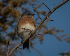 A male Eastern bluebird (flintframer) Tags: bluebirds eastern muscatatuck nwr national wildlife refuge indiana southern nature birds song canon eos 7d markii ef100400mm male