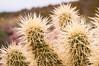 Jumping Cholla (Ze-Ribbiter) Tags: desert cactus cacti jumping cholla spiky plant dangerous spines