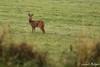 Brocard. (suzukigsxr67700) Tags: chevreuil brocard roedeer wildlife