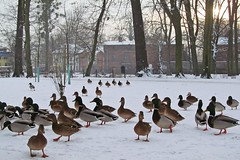 waiting for some food... (green_lover) Tags: ducks mallards birds animals park winter critters snow żyrardów poland seasons