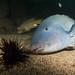 Thinkin about it - Achoerodus viridis blue groper and urchin