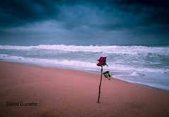 Rose in the storm (David Cucalón) Tags: david cucalon rose rosa beach playa storm tormenta water agua clouds nubes sand arena seascape paisaje mar sea