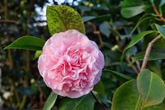 Kamelie im Botanischen Garten (mama knipst!) Tags: kamelie camellia blume flower fleur