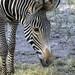 Jacksonville Zoo 10-29-2014 - Grevys Zebra 2