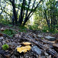 Girolles d'Ardèche, France (pom.angers) Tags: panasonicdmctz30 2014 august girolle chataîgne saintmélany lesvans largentière ardèche 07 paysbeaumedrobie cévennes auvergnerhônealpes france europeanunion mushroom champignon