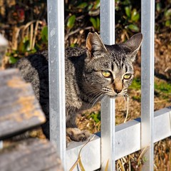 Observation (Jon-Fū, the写真machine) Tags: cats cat 猫 ネコ kitty kittycat kitties stray strays pussycat pussycats puddytat neko にゃんこ nyanko animal animals 動物 生き物 fauna jonfu 2017 olympus omd em5markii em5ii em5mkii em5mk2 em5mark2 オリンパス mirrorless mirrorlesscamera microfourthirds micro43 m43 mft μft マイクロフォーサーズ ミラーレスカメラ ミラーレス一眼カメラ ミラーレス機 ミラーレス一眼 snapseed japan 日本 nihon nippon ジャパン ジパング japón जापान japão xapón asia アジア asian fareast orient oriental aichi 愛知 愛知県 chubu chuubu 中部 中部地方 nagoya 名古屋