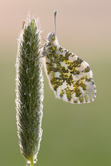 frisch getuscht (rudolfaurnhammer) Tags: natur tiere insekten falter schmetterlinge aurorafalter tagfalter makro morgentau