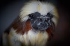 coupe de cheveux innovante (rondoudou87) Tags: singe monkey portrait pentax k1 parc zoo reynou wildlife wild nature natur regard eyes eye