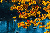Autumn in St Stephen's Green (Steve-h) Tags: stephensgreen nature autumn leaves trees contrajour contraluz backlighting colours colour gold red blue orange white gulls birds digital exposure ef eos canon camera lens dublin ireland europe october 2016 steveh