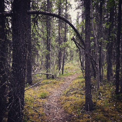 Quiet walk through boreal forest #yxy #yukon #nature #trail