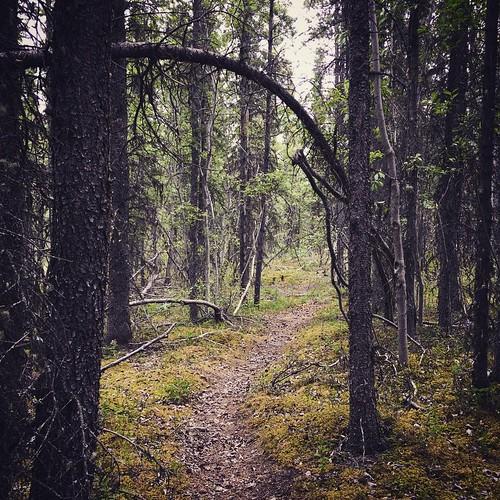 Quiet walk through boreal forest #yxy #yukon #nature #trail