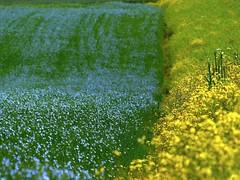Trois couleurs (Ker Kaya) Tags: blue green yellow flowers field lin linen fz200 kerkaya colors landscape three 3 flax fdekerkaya ker kaya artist photography dmcfz200 kerkayaphotography