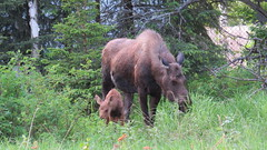 Moose - Mother and Calf (Accretion Disc) Tags: alaska spring woods wildlife moose anchorage calf