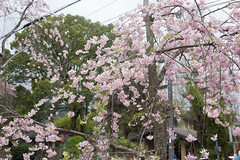path of philosophy sakura (SanctyYumi) Tags: nature japan kyoto blossom   cherryblossom  sakura pathofphilosophy  philosopherspath
